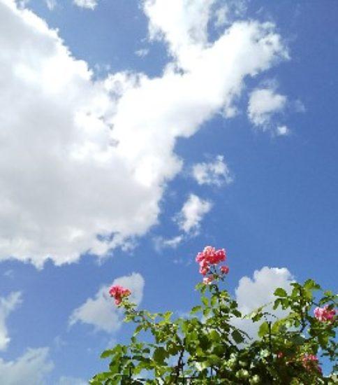 青空とバラと